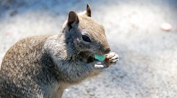 squirrel, candy, serial squirrel theft, eating