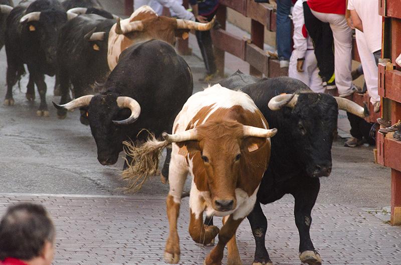 bulls, cattle drive, race, running of the bulls, street