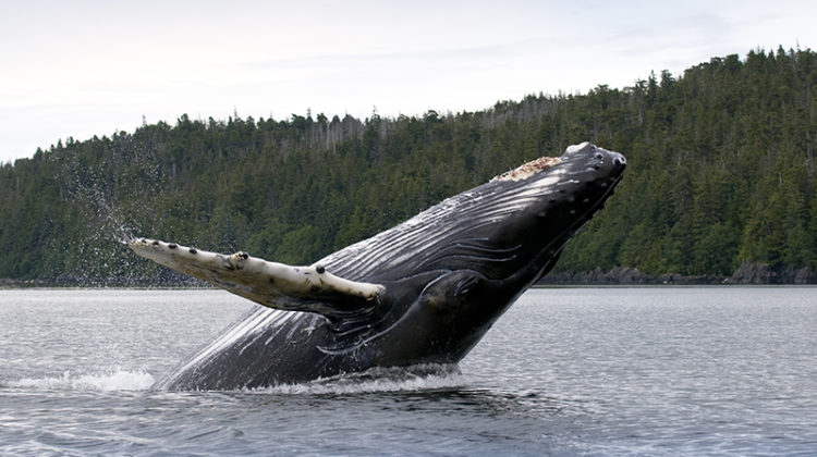 humpback whale, ocean, forest, land, water