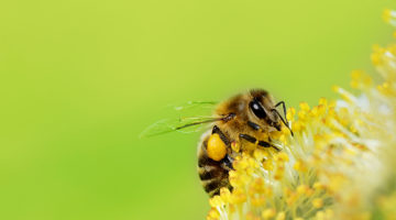 bee, pollen, spring, flower, bug
