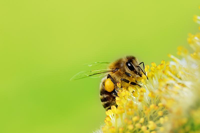 bee, pollen, spring, flower, bug
