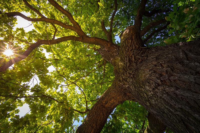 oak tree, trees